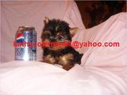 We Have Two Male And Female Teacup Yorkie Puppies For Adoption