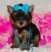 Yorkie Puppies for beautiful homes