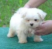 Adorable Maltese Puppies For Free Adoption ( Potty Trained) Adorable a