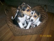 akc beagle puppies very cute